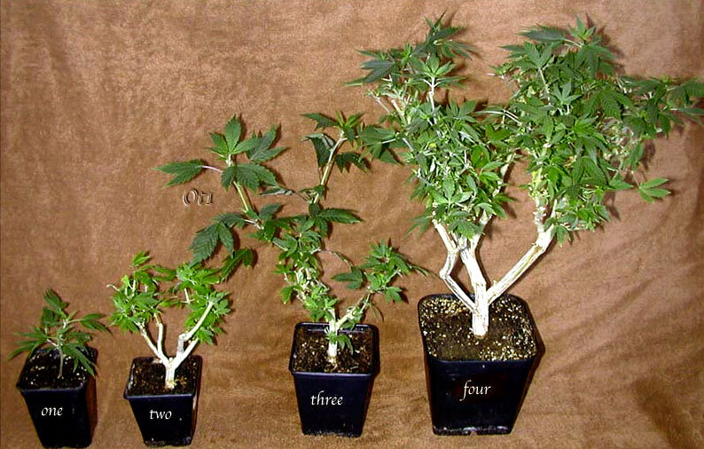 A cannabis plant must be at least two months old before it can be cloned. So the ideal is to take clones from mother plants that are two months old during the vegetative growth phase.
