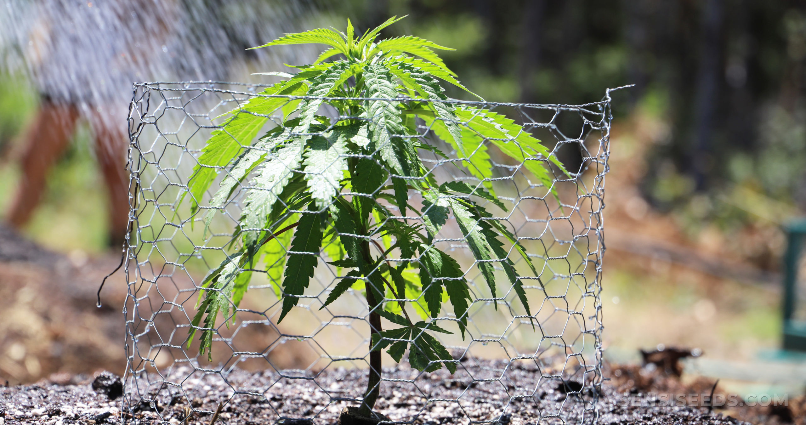 How to grow weed the main mistakes to avoid