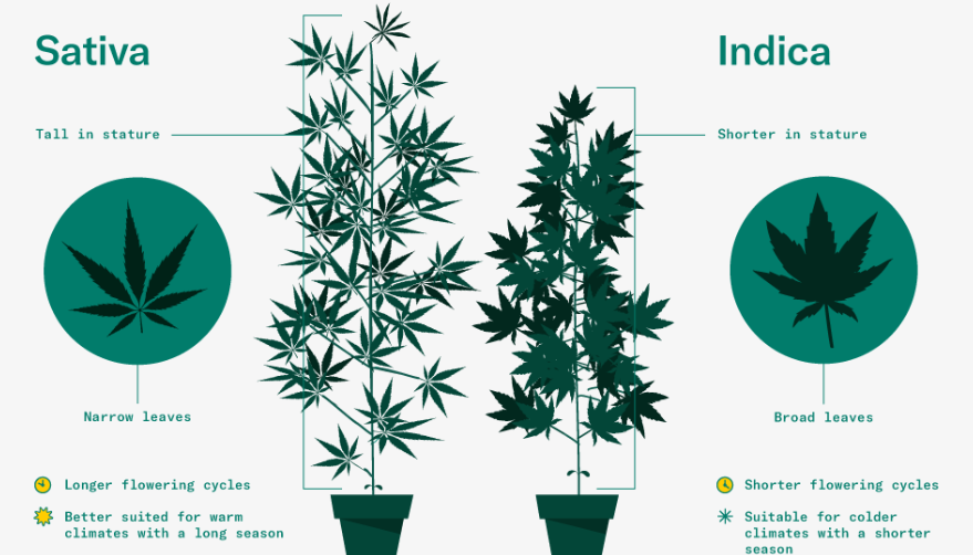 The leaves of the marijuana plant are called palmate or alternatively 'fan-shaped'; they have a symmetrical structure and grow in pairs, starting from both the main stem and its branches.