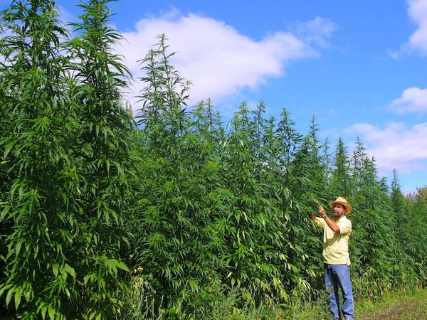 Cannabis sativa, on the other hand, is native to warmer, predominantly tropical areas, which means that it can grow wild in places such as Thailand, Vietnam, Colombia, and parts of Africa.