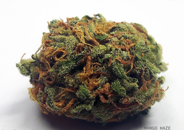 Mango Haze cannabis variety is a cornerstone of this strain and, as with all strains originating from generic Haze, it is also sativa-dominant.