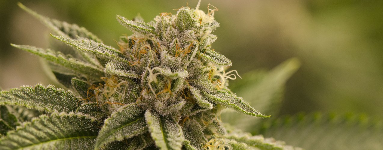 Characteristics and Peculiarities of OG Kush
