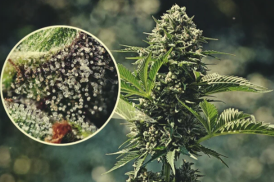 What Exactly Are Cannabis Trichomes?